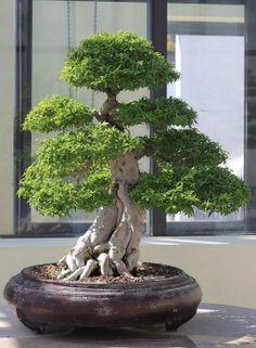 drzewko bonsai fot. Sage Ross Wikimedia