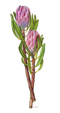 Queen Protea, painted specially for a friend. Protea Art, Protea Flower, Art And Illustration, Floral Illustrations, Botanical Drawings, Botanical Prints, Art Floral, Plant Drawing, Painting & Drawing