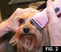 """The Yorkshire Terrier, or """"Yorkie,"""" is one of the most popular AKC breeds. It is at the top of our Bread & Butter client list. These long coats tend to mat and become too difficult for the aver… Grooming Yorkies, Dog Grooming Tips, Yorkshire Terrier Haircut, Yorkshire Terrier Puppies, Silky Terrier, Yorkie Cuts, Yorkie Hairstyles, Pets"""