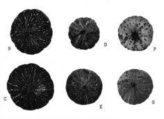 Variedades de calabazas y zapallos en Argentina - Wikipedia, la enciclopedia…