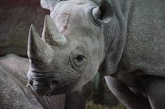 アフリカ, 動物, ブラック, 危険, 絶滅の危機に瀕, 草食動物, ホーン, 巨大です