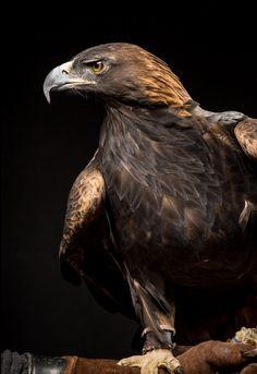 this-is-wild:Golden Eagle(Raymond Haddad) Animals Of The World, Animals And Pets, Cute Animals, All Birds, Birds Of Prey, Raptor Bird Of Prey, Eagle Art, Golden Eagle, Wild Creatures