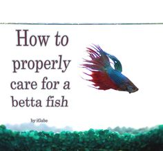 How to Properly Care for a Betta Fish This instructable will teach you how to properly care for a betta, a beautiful and hardy fish ideal for the beginner. And unlike other ornamental fish-related instructables, this one will actually give you legi Freshwater Aquarium, Aquarium Fish, Aquarium Setup, Aquarium Ideas, Fishing Tips, Bass Fishing, Fishing Basics, Beta Fish Care, Betta Breeding