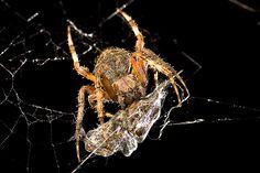 Spider Fight