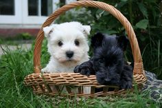 This was the original idea, a West Highland Terrier and a Scottish Terrier. I'm still not sold on the Scottish Terrier.