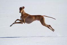 African Azawakh running in the snow