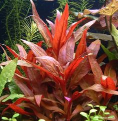 Find a large selection of freshwater plants at Pets Warehouse We carry a variety of freshwater aquarium plant species Planted Aquarium, Aquarium Garden, Live Aquarium Plants, Live Plants, Aquarium Ideas, Freshwater Aquarium Plants, Saltwater Aquarium Fish, Tropical Aquarium, Tropical Fish