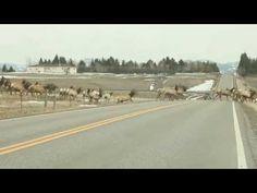 Massive Herd of Elk in Montana   1Funny.com