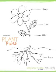 Download Plant Parts Coloring Pages and activities - Herbs for Kids