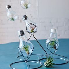 Tillandsia Display: Bright Idea: Organic Gardenin Tillandisa in a lightbulb