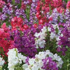 "PENSTEMON COBEA'Wedding Bells'  compact  plants boast large flowers and superb weather resistance. Easy to maintain, these hardy perennials are also attractive to bees. Height: 50cm (18""). Spread: 45cm (18""). 2014* CONTAINERS, GYM BEDS COURTYARD NR WALL"