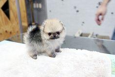 Tiny teacup pomeranian puppy | The cutest,the tinnest,the fi… | Flickr