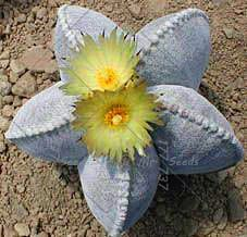 200pcs/bag Five-pointed star succulent seeds
