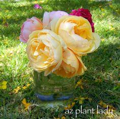 'Secret' Tips for Roses - Ramblings from a Desert Garden Peony Care, Rose Care, Garden Terrarium, Garden Plants, Flower Gardening, Terrariums, Chicken Garden, Shrub Roses, Rose Pictures