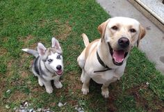 Thor and Juan! Central Park, Thor, Husky, Labrador Retriever, Dogs, Animals, San Carlos, Labrador Retrievers, Animales