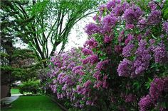 Lilacs (Syringa) are beautiful choice to garden fence. They smell good and usually are easy to grow. Comes in many shapes and  color shades.