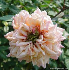 'Mademoiselle Franziska Krüger' Rose Photo