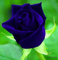 Blue Rose via Lovely Roses Facebook page                                                                                                                                                                                 More