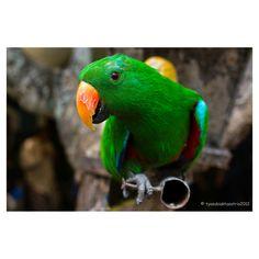 Green Kakaktua