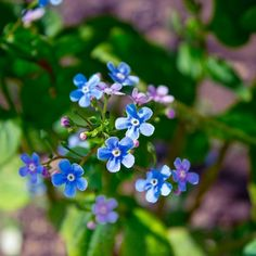 blooms-and-shrooms:  spring blue flowers by a-place4my-head