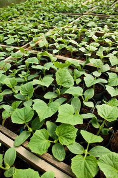 Zucchini sollte man vorziehen, um die Saison zu verlängern