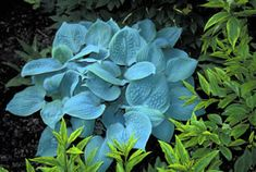 'Fragrant Blue' is one of the bluest hostas and something of a breakthrough in breeding. It combines the fragrance of plantagenia with the blue color of sieboldiana. @Faye Barber Tipton