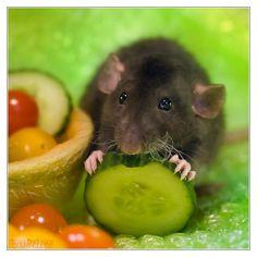Arkanys 16 - Fancy rat by DianePhotos.deviantart.com on @deviantART