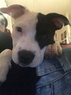 ❤️ Pitbulls, Dogs, Animals, Animales, Pit Bulls, Animaux, Pet Dogs, Pitbull, Doggies