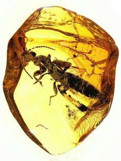Baltic amber (45 myo) - rare rove beetle (Staphylinidae, Paederinae) Photo: Anders Leth Damgaard  Geology Wonders
