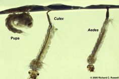 Aedes and culex - larva and pupa Mosquito Larvae, Mosquito Control, Biology, Letting Go, Insects, Converse Chuck, Hunting, River, Amazing