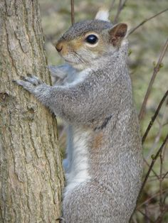 Squirrel On Tree.  Photo by Frederick Meekins