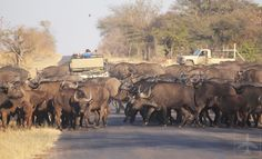 A Land Rover being swamped by an entire herd of African buffaloes! Kruger National Park, National Parks, Safari Game, African Buffalo, South Africa Safari, Private Games, Game Reserve, Bird Species, Pet Birds