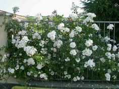 OLD/MODERN ROSES COMMENTS & QUESTIONS | Garden World Discussions