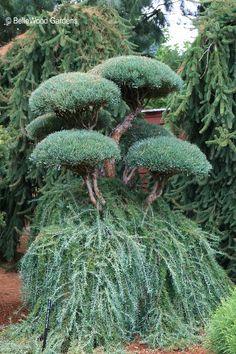 Pinus sylvestris 'Glauca Nana' and Larix decidua 'Pendula'