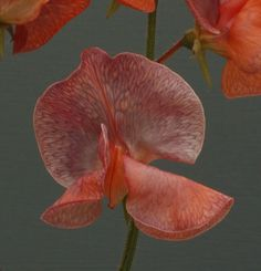 Sweet Peas from Dr Keith Hammett 'Future Shock' one in the pipeline.