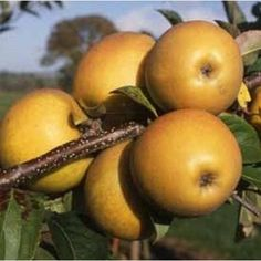 Apple Herefordshire Russet