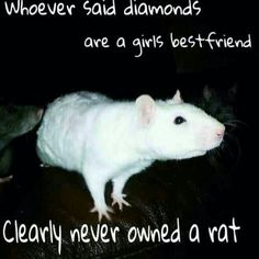 So cute I have two rats of my own and they are adorable this is so perfectly true!!!
