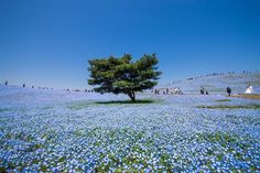 Million Flowers Blossom into a Sea of Blue at Japan's Hitachi Seaside Park Beautiful Park, Beautiful World, Beautiful Places, Champs, National Geographic, Hitachi Seaside Park, Sea Flowers, Blooming Flowers, Million Flowers
