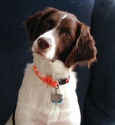 Abby - My beautiful Brit! Brittany Spaniel