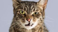 Katzenbisse können schnell passieren: Eine unbedachte Bewegung, die der Katze missfällt und es kann sein, dass sie beißt. An sich keine schlimme Sache, doch unbehandelt, kann das ziemlich gefährlich für den Menschen werden.
