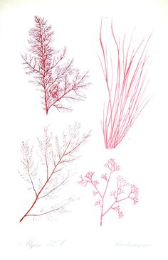 Botanical - Algae 17