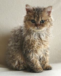 WOW!  Never seen this breed!  Selkirk Rex - Curly Cutie Kitteh