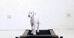A timelaps showing rescue puppy Pegasus on a treadmill every day as she grows up.