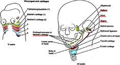 anatomy essay biology