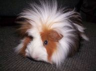 what a cute hairstyle....love it...guineapigs #animals #