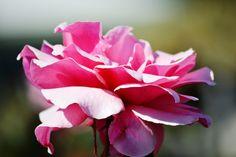 Rose @ Chart Farm My Photos, Chart, Wedding Ideas, Rose, Flowers, Plants, Pink, Plant, Roses