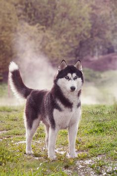 Amazing cute husky