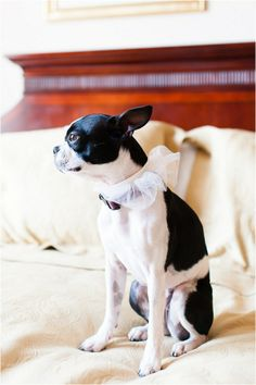 Bella the Boston Terrier was an adorable flower girl! Photo by Stephanie Yonce Photography