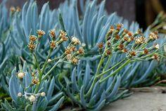 Mix and Match These 10 Outstanding Succulents #Gardening #Succulents #OrnamentalPlants #Houseplants #GardeningTips