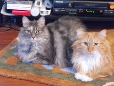 Pictures of Turkish Angora Cat Breed